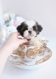 imperial shih tzu puppies by