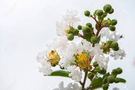 Close Up White Flower Of Crape Myrtle, Crape Flower, Indian Lilac ...