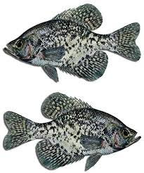Amazon Com Black Crappie Fish Decal Set Boat Fishing Truck Car Window Stickers Arts Crafts Sewing