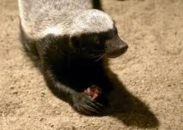 honey badger venom resistance