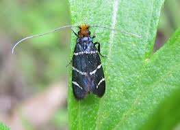 Family Adelidae (Adelid Moths) | Butterflies and Moths of North ...