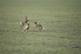 res 846 brown hares boxing 1834101
