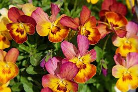 صور ورد جميل اجمل اشكال الورود في الصباح كارز