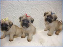 teacup yorkie puppies philadelphia
