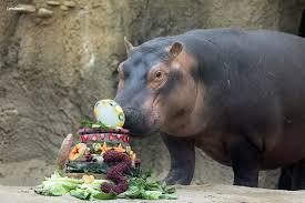 happy birthday fiona cincinnati zoo