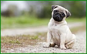 pug puppies wallpaper 122ef1c picserio