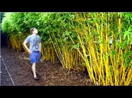 Golden Goddess Bamboo Plant Fast Growing Privacy Screen Youtube