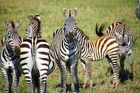Brit trophy hunters slay at risk zebras and post sick snaps on Facebook