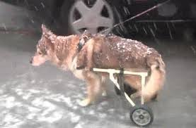 homemade doggy wheelchairs give