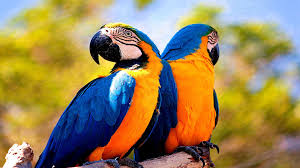 macaw wallpapers 7ccsg2b 385 66 kb