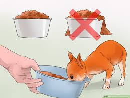 3 ways to feed chihuahua dogs wikihow