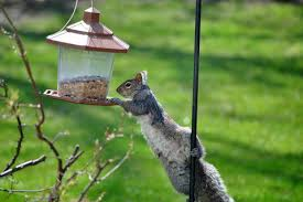 How To Keep Squirrels Out Of Bird Feeders Simple Solutions New England Today