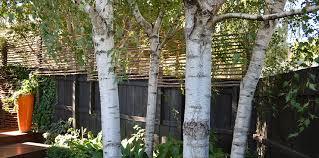 silver birch trees in melbourne