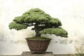 bonsai tree meaning gardenerdy
