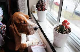are succulents poisonous to dogs
