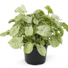 picture of poisonous houseplants for dogs 4