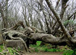 dragon tree craggy gardens blue ridge