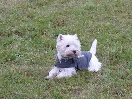 Cleo wearing her thundershirt with pride !! | Cute animals, Animals, Westies