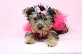 lilah toy yorkie puppy in las vegas