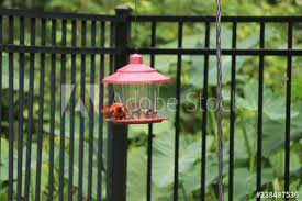 Red Male Northern Cardinal Songbird Perched On Black Metal Garden Fence And Bird Feeder Buy This Stock Photo And Explore Similar Images At Adobe Stock Adobe Stock