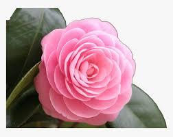 rose png image rose full hd beautiful
