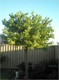small residential trees tree