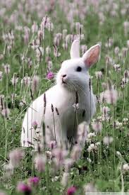 mobile hvga bunny in flower field