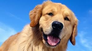 s dogs golden retriever wallpaper