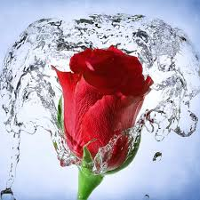 flower quotes rose flower water