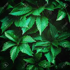 Nature Background With Ivy Green Leaves Instagram Vintage Effect Stock  Photo, Picture And Royalty Free Image. Image 30161349.