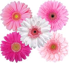 Amazon Com Stikart Pink Gerber Daisies And White Gerber Daisies Flower Wall Decals Home Kitchen