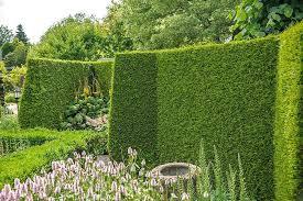 evergreen screening plant