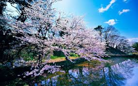 cherry blossom tree wallpapers top