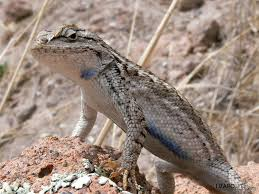 Eastern Fence Lizard Sceloporus Undulatus Care Sheet Lizard Types