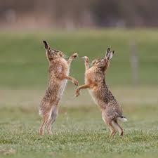 boxing hares wild rabbit animal
