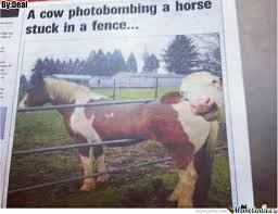 Photobomb Editions 4 Level Cow By Deal Meme Center
