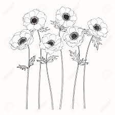 anemone flowers drawing and sketch with