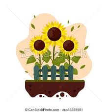 Sunflowers Cartoon With Wooden Fence Grown In A Garden Summer Agriculture Flat Style Vector Illustration