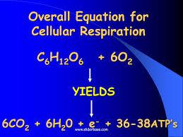 adp atp and cellular respiration