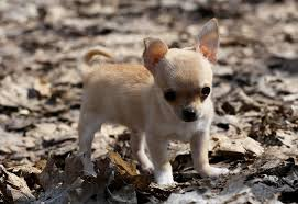 baby dog puppy chihuahua wallpapers