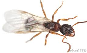 43+ Queen Flying Ant  PNG