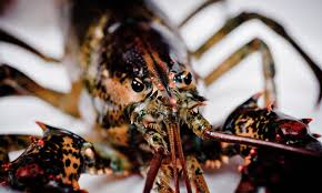 Crabs and lobsters deserve protection ...