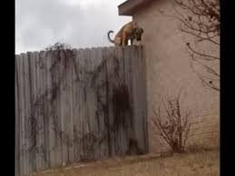 Fence Jumping Dog Stopped By Homemade Coyote Roller Lose Weight More Energy Youtube