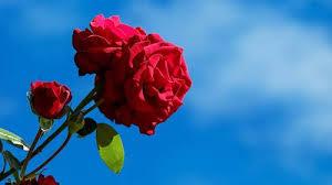 kata kata bunga mawar tentang cinta keindahan dan kehidupan