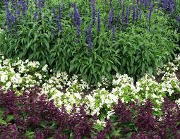 bedding flower annuals