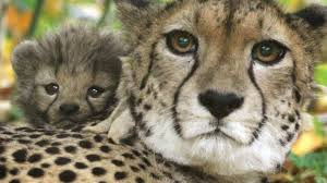 half the world s cheetahs will be gone