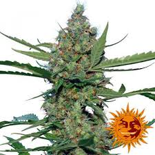 laughing buddha seeds delicious seeds
