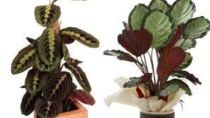 calatheas y marantas plantas de