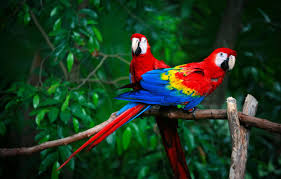 pair parrots red macaw