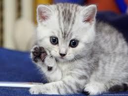 cute kitten hd wallpaper for desktop